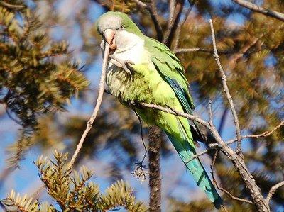 Wild monk parrot in pine tree on Avenue I Brooklyn