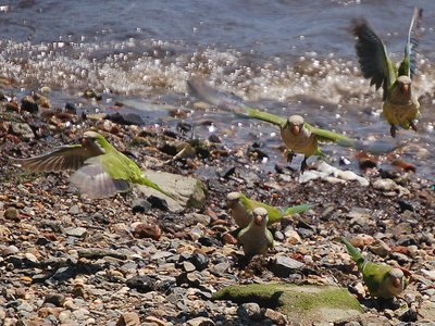 A gang of monk parrots frolic on a New Jersey Beach in June 2006