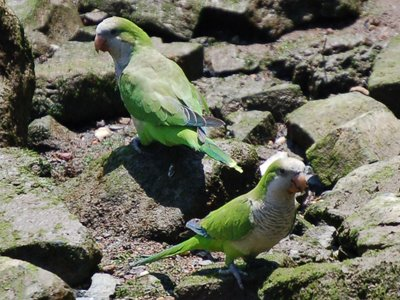 Two wild monk parrots catch some rays on a beach in Edgewater New Jersey