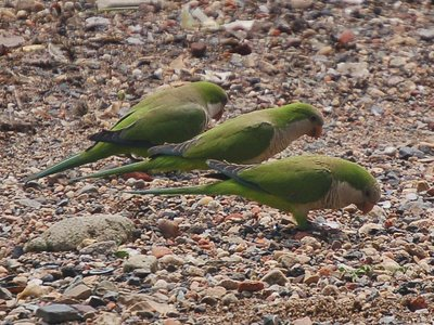 Three wild monk parrots strut their stuff on Edgewater's Parrot Beach