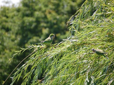 A beautiful weeping willow provides a good perching place for wild parrots