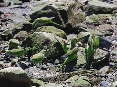 Seaweed and algea are highly suitable foods for a wild parrot in New Jersey