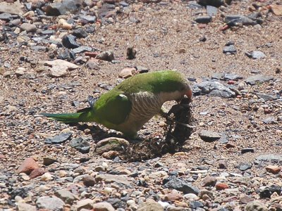 Seaweed and other sea vegetables provide an excellent nutritional supplement for New Jersey's wild parrots