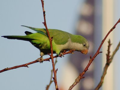Brooklyn wild quaker parakeets enjoying leaf buds at Green-Wood Cemetery. Photo 1 of 9