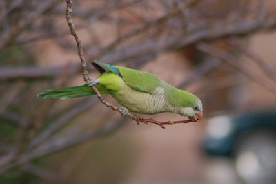 Brooklyn wild quaker parakeets enjoying leaf buds at Green-Wood Cemetery. Photo 7 of 9