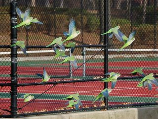 Wild parrots flocking in Pelham Bay Park, December 2005