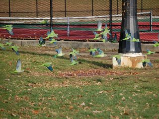 Wild parrots flocking in Pelham Bay in the Bronx