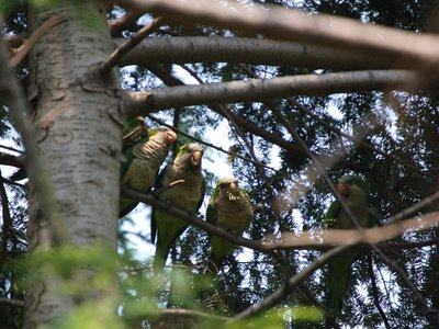 A group of quaker parakeets huddles in the relative safety of a pine tree to stay safe from a red-tailed hawk in Brooklyn's Greenwood Cemetery