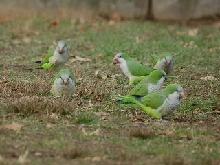 Phatness among the parrots is directly attributable to a diet heavy in acorns