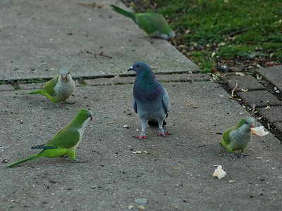 Brooklyn Parrots discuss the pigeon problem with a Brooklyn Pigeon.