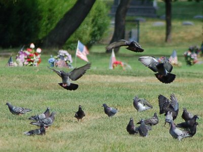 A large flock of pigeons forages on the Greenwood cemetery grounds