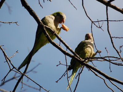 Two wild parrots in Brooklyn perching in a tree feast on wild pizza