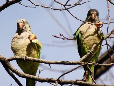 Two wild quaker parakeets eat pizza. Brooklyn, NY, January 21, 2006