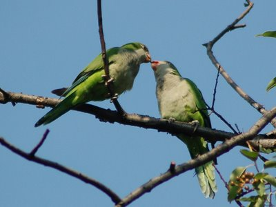 An adult wild Quaker Parrot allofeeds her baby in a tree in Brooklyn's Green-Wood Cemetery.
