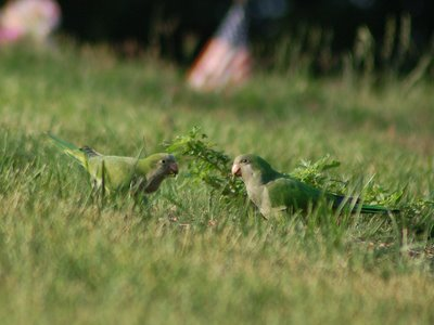 Two wild adult Quaker Parrots forage for food in Brooklyn's Green-Wood Cemetery.
