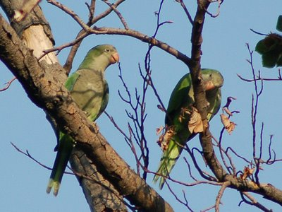 Two wild baby Quaker Parrots in Brooklyn's Green-Wood Cemetery practice cutting through twigs.