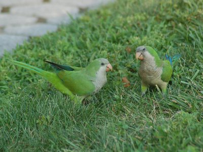 Here, Mom (on right) is teaching baby to eat grass, which is the main diet for wild Quaker Parrots. Photo by Steve Baldwin