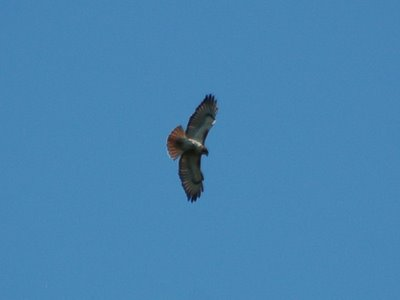 A Red-Tailed Hawk at Greenwood Cemetery