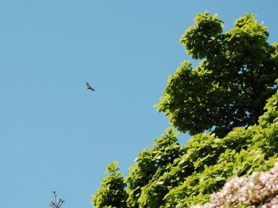 Johannas, Green-wood Cemetery's fearful Red-Tailed Hawk