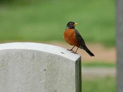 A Robin at Green-Wood Cemetery, Brooklyn