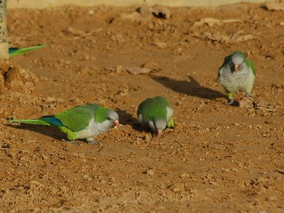 These three Quaker Parrots might be too busy eating grit to notice the approach of a predator
