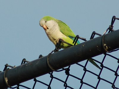 A watchful Quaker Parrot Sentinel guards his fellows marching on a Brooklyn sandlot baseball field