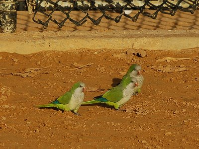 Three wild Quaker Parrots strutting their stuff on a Brooklyn sandlot baseball field