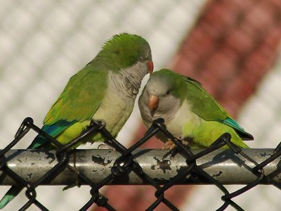 Two wild quaker parrots groom each other at a Brooklyn sandlot baseball field