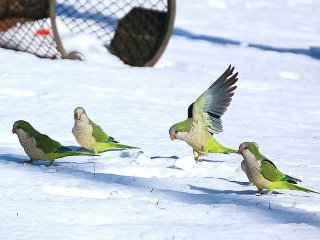 Quaker parakeets in the snow