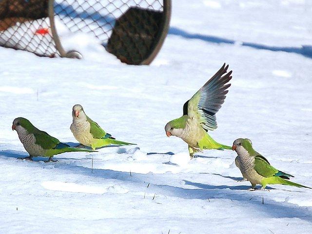 http://www.brooklynparrots.com/uploaded_images/snow_parrots1-773172.jpg