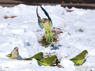 Monk parakeets in the snow
