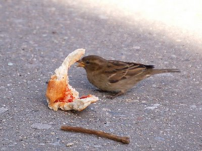 A sparrow thanks the wild parrots for dropping the pizza slice, Bedford Avenue, Brooklyn, NY