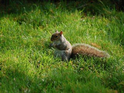 A squirrel heeds the Monk Parakeet's alarm