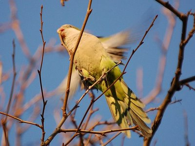 A Bay Ridge parrot revs up his rotors with twig in beak