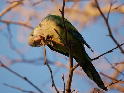 A Bay Ridge parrot is nearly through severing his twig