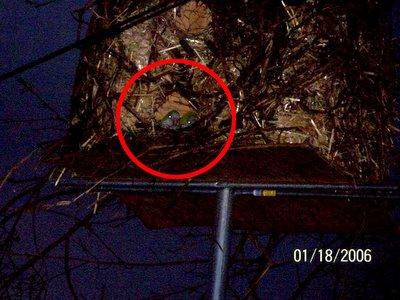 Wild Quaker Parrots in Julie Cook's artificial nest, West Haven, Connecticut, January 18, 2004