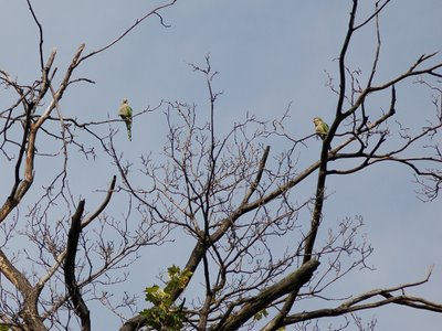 Two quaker parakeet sentinels watch for predators in Brooklyn's Greenwood Cemetery