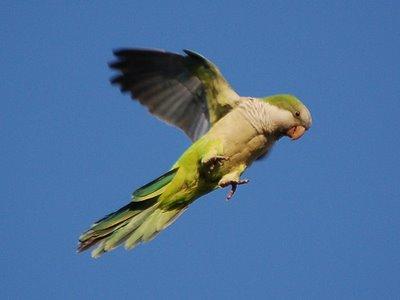 A free-range monk parrot flies free in Brooklyn